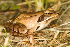 Agile Frog  close-up - Rana dalma Stock Photos