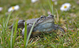 Agile Frog in grass Stock Image