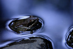Agile frog (Rana dalamtina). In blue water with stons Stock Photo