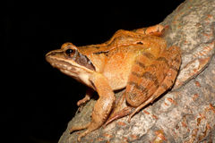 Agile Frog - Rana dalmatina. On a branch Royalty Free Stock Photos