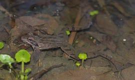 Rana dalmatina. Agile frog Rana dalmatina in the breeding pond stock photos