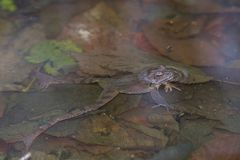 Rana dalmatina. Agile frog Rana dalmatina in the breeding pond stock photography