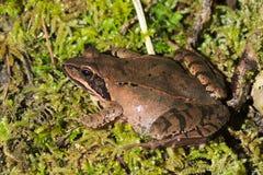 Agile frog (Rana dalmatina) Royalty Free Stock Images