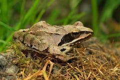 Agile Frog  Rana dalmatina Royalty Free Stock Photography