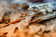 Agile frog (Rana dalmatina) Stock Photo