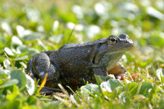 Agile Frog (Rana dalmatina). In grass stock photography