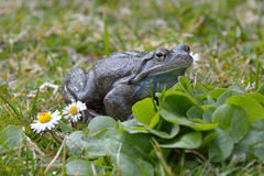 Agile Frog (Rana dalmatina) on grass in spring time Stock Photos