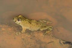 Agile frog, Rana dalmatina Stock Images