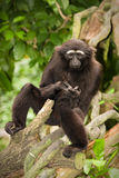 Agile gibbon. (also Black handed Gibbon), Hylobates agilis royalty free stock photography