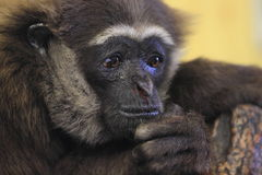 Agile gibbon. The detail of thoughtful agile gibbon Stock Photos