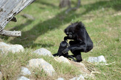 Agile Gibbon Royalty Free Stock Photos