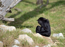 An Agile Gibbon and her child Stock Photography
