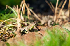 Agile lizard in its natural habitat Royalty Free Stock Images