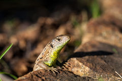 Agile lizard in its natural habitat Royalty Free Stock Photos