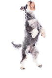 Agile schnauzer standing on his hind legs Stock Image