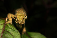 Agile and stealthy chameleon on black background Stock Photography