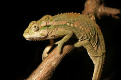 Agile and stealthy chameleon on branch. An agile chameleon steathily stalks his prey against a black background Royalty Free Stock Photography