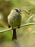 Agile Tit-Tyrant. An attractive high Andean species in parts of South America Stock Photography