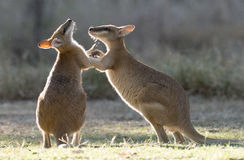 Agile wallabies Royalty Free Stock Image