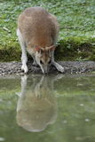Agile wallaby Royalty Free Stock Image