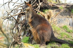Agile wallaby Stock Photo