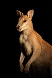 Agile Wallaby, Australia Royalty Free Stock Images