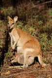 Agile Wallaby and baby Royalty Free Stock Photography