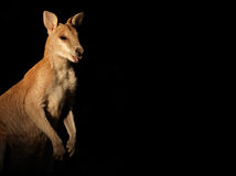 Agile Wallaby on black Royalty Free Stock Photography