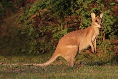 Agile Wallaby Royalty Free Stock Images