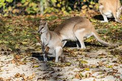 The agile wallaby, Macropus agilis also known as the sandy wallaby royalty free stock photos