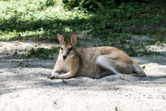 The agile wallaby, Macropus agilis also known as the sandy wallaby royalty free stock photography