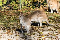 The agile wallaby, Macropus agilis also known as the sandy wallaby royalty free stock image