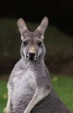 Agile Wallaby - Macropus agilis Stock Photography