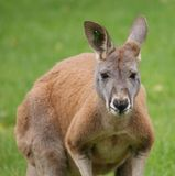 Agile Wallaby - Macropus agilis Royalty Free Stock Photography