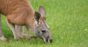 Agile Wallaby - Macropus agilis Royalty Free Stock Photo