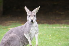 Agile Wallaby - Macropus agilis Royalty Free Stock Photos