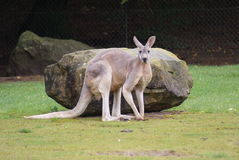 Agile Wallaby - Macropus agilis Stock Image