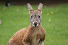 Agile Wallaby - Macropus agilis Stock Photo