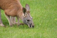 Agile Wallaby - Macropus agilis Royalty Free Stock Images
