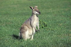 Agile wallaby, Macropus agilis Royalty Free Stock Photo