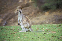 Agile wallaby, Macropus agilis Stock Image