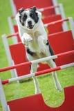 Agilidad del perro Foto de archivo libre de regalías