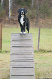 Agilidad del perro Imagen de archivo