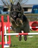 Agilidade do cão Fotografia de Stock