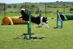 Agilidade do cão Fotos de Stock