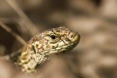 Agilis ящерицы лака ящерицы Стоковые Изображения RF