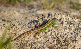 Agilis ящерицы ящерицы песка мужские Стоковое фото RF