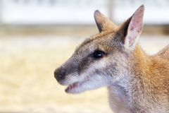 Agilis agiles de Macropus de wallaby photographie stock