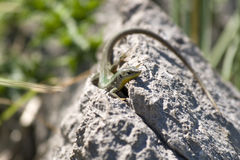 Agilis della lacerta o lucertola di sabbia su una roccia Fotografie Stock