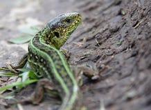 Agilis masculinos del Lacerta del lagarto de arena en la tierra Foto de archivo libre de regalías
